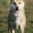 Džindo šuo